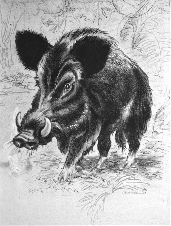 Wild Boar by George Hawthorn at the Illustration Art Gallery
