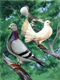 Varieties of British Pigeon art by 20th Century Artist