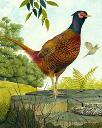 Cock Pheasant art by Kenneth Lilly