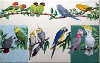 Allsorts of Pretty Parrots art by Ian McIntosh