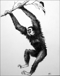 White-Handed Gibbon art by Glenn Steward