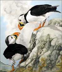 Puffins art by R Worr